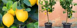 Läckra citrusträd! Så lyckas du med vackra växten