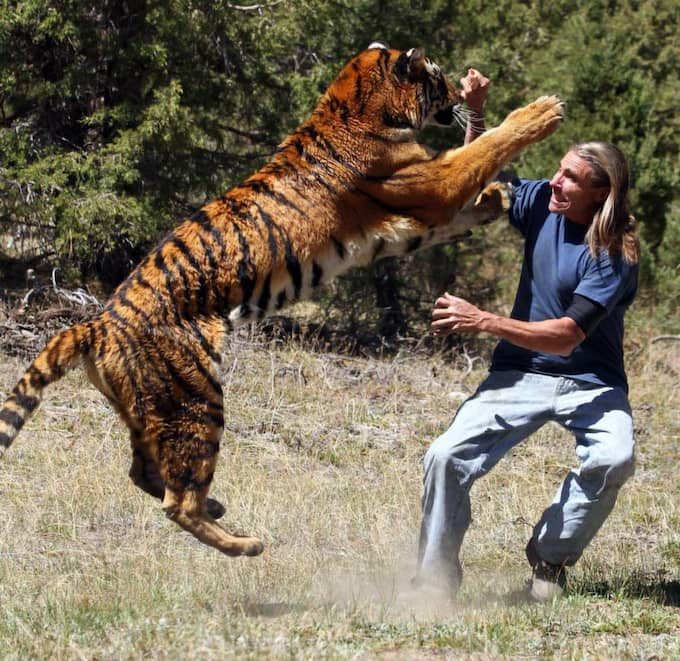 Tigern Eden går till anfall... Foto: Laurentiu Garofeanu / Barcroft