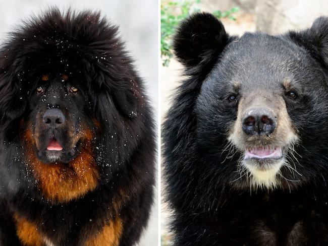 En familj upptäckte bland annat att de köpt en björn i stället för en tibetansk mastiff på semestern.