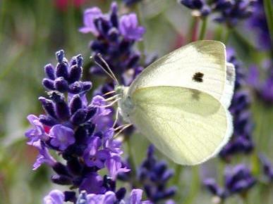 Lavendel är en favorit i fjärilsvärlden.