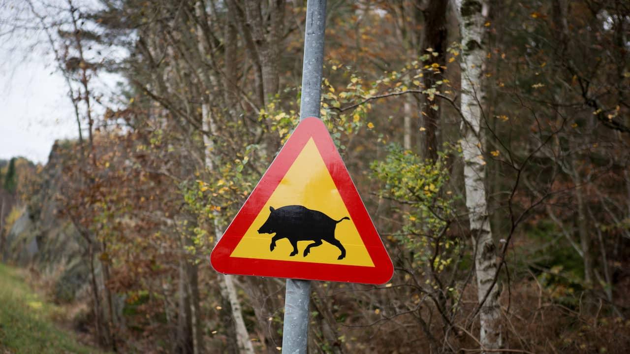 23 vildsvin sköts i Halland i helgen
