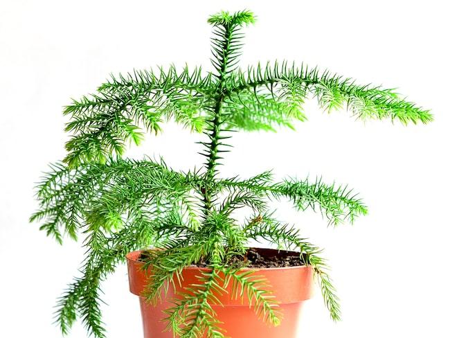 Rumsgranen är grön och skir med symmetriska grenar.