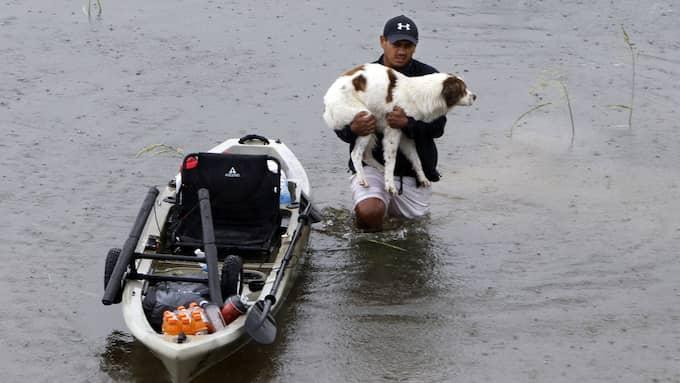 En man vandrar genom vattenmassorna med sin hund i famnen efter Hurricane Harvey i Houston i Texas. Foto: SONG QIONG / ZUMAPRESS.COM/IBL ZUMA PRESS