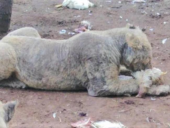 Nylien upptäcktes 108 undernärda lejon med skabb på en farm i Sydafrika.
