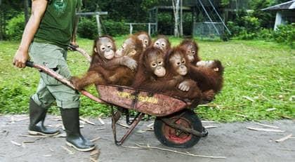 En hel skottkärra full av charmiga orangutangungar. Men klimathotet gör att arten riskerar att utrotas. Foto: Christian Aslund / Barcroft Media