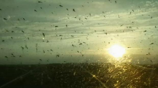 Naturen anfaller: Plötsligt är de mitt i myggsvärmen