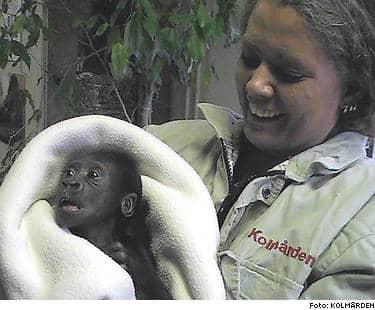 Första leendet. Gorillapojken i Kolmården mår allt bättre. Lena Mellqvist håller hela djurparkens favoritbebis.