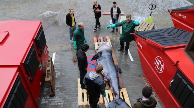 Fyra meter lång och 500 kilo tung ses brugden som fångades i Kattegatt som en riktig bjässe. De riktigt stora exemplaren kan dock bli uppemot tolv meter långa. Foto: CHRISTINA EGERIS VANDBORG