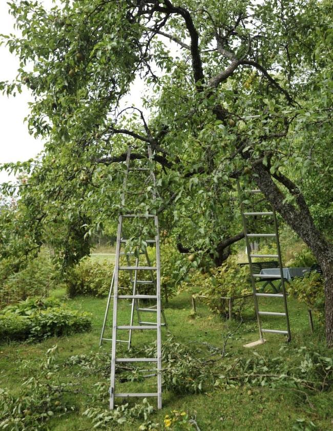 Beskär fruktträden på hösten.