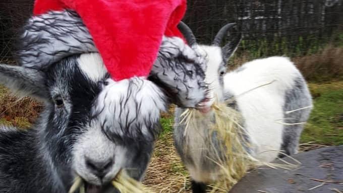 Getterna Albert och Agnes älskar julen. Foto: Privat