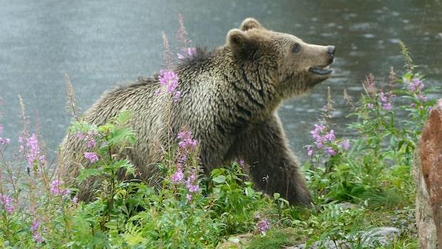 18-åring dog i björnattack – två personer åtalas