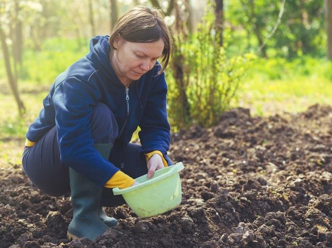 Skapa bättre odlingsmöjligheter genom att blanda in kompost eller speciell planteringsjord i din befintliga jord.