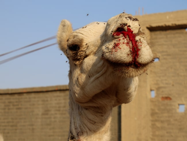 PETA vill förbjuda arbetande djur på alla turistdestinationer i Egypten.
