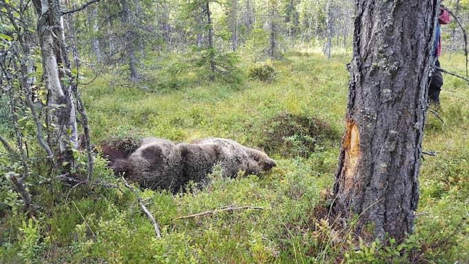 Björnen bröt nacken efter att ha sprungit in i ett träd. Foto: Peter Wallin, länsstyrelsen Dalarna