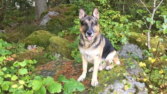 Stockholmspolisens supersökhund Ozzy hedras i sociala medier. Foto: Polisen